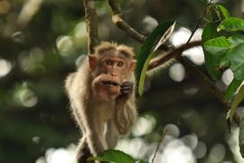 Un mono alcohólico mata a un hombre y hiere a otros 250 en la India
