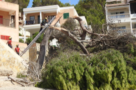 Talan un pino dañado en Sant Elm