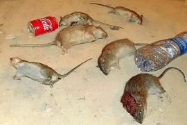 Las ratas se adueñan de 'Corea'