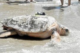 La tortuga Colomera llega desde Oropesa a Mallorca en sólo cuatro días