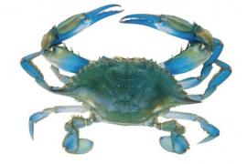 A la caza del cangrejo azul