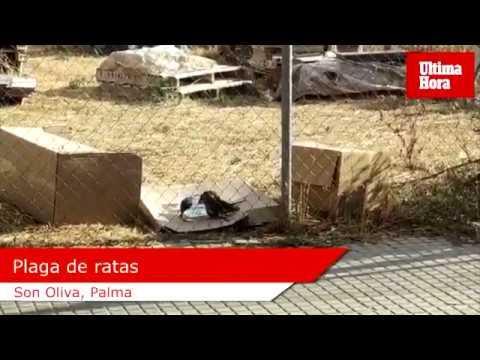 Una plaga de ratas como conejos aterroriza a los vecinos de Son Oliva