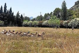 Cabras en Pollença