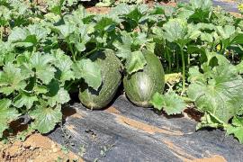 Buena cosecha de melones en Ariany