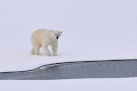 ¿Desaparecerán los osos polares?