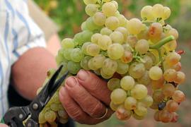 El 18 % de los viñedos con Denominación de Origen no recogerá la uva de esta campaña