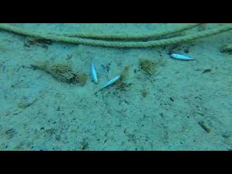 Aparecen decenas de peces muertos en Menorca