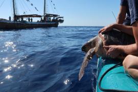 Baleares alcanza las 1.000 tortugas rescatadas y liberadas