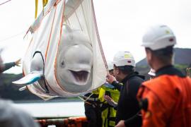 La felicidad de una beluga que recupera la libertad