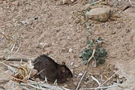 Invasión de ratas en un descampado del Coll d'en Rabassa
