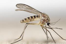 Esta es la especie de mosquito transmisor del virus del Nilo en Andalucía
