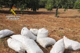 Detenido tras ser sorprendido con 300 kilos de algarrobas robadas en Sant Llorenç