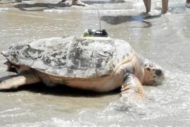 La tortuga Colomera