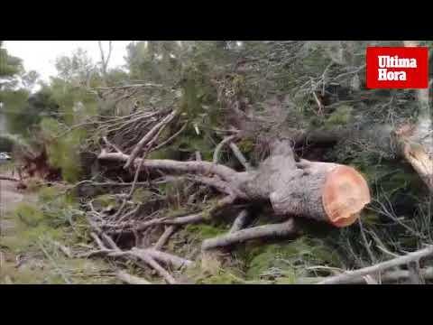 El tren de Sóller, suspendido por la caída de un árbol