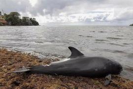 La lucha de una madre delfín por salvar a su cría tras un derrame de petróleo en las islas Mauricio
