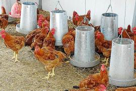 Cría de pollos en ecológico