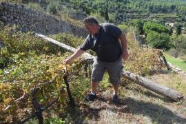 Banyalbufar da por perdida la cosecha de Malvasia tras los destrozos en las viñas