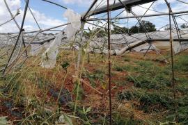 El temporal de finales de agosto causó 2,4 millones de perdidas en las explotaciones agrarias de Mallorca