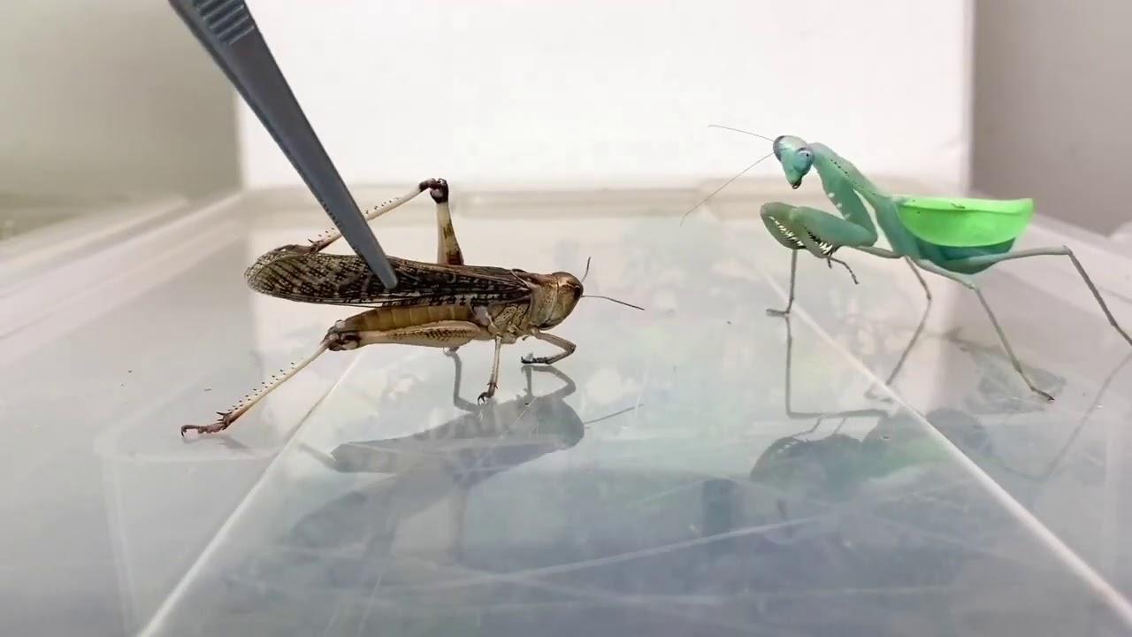 El desagradable vídeo de una mantis religiosa comiéndose una langosta entera
