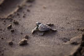 Diez tortugas marinas nacen en una playa de Ibiza