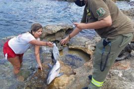 Aparece una cría de delfín en la playa de Caló des Moro