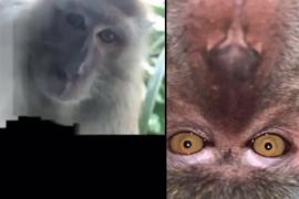 Encuentra su móvil robado y descubre gracias a las fotos que el ladrón fue un mono que se hizo selfies