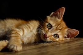 Desahucian a un hombre que vivía con 96 gatos en un piso en Gandia