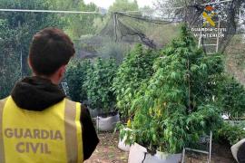 Desmantelan una plantación de marihuana en Esporles, la número 56 en Baleares