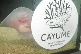 Nace la primera raya de un huevo capturado en Mallorca