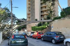 El fuerte viento provoca la caída de un pino de grandes dimensiones en Palma