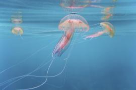 Baleares despide el verano sin apenas rastro de la medusa que más abunda