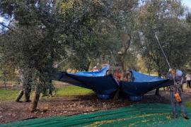 Agricultura pagará a los productores de Oli de Mallorca para evitar el desplome de precios