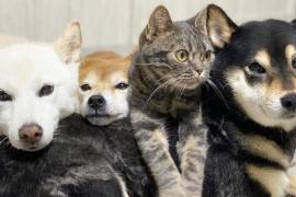 Kiki, el gato que forma parte de la manada de tres perros y actúa como ellos