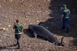 Nueve ballenas mueren al quedar varadas en la costa norte de España