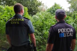 Intervenida una plantación de marihuana en Lloret