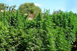 La Policía Nacional desmantela una plantación de 96 kilos de marihuana en Manacor