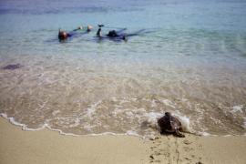 Las mejores imágenes de la primera liberación de tortugas en Ses Salines.