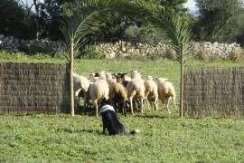 Muere Xusco, uno de los mejores perros pastores de Baleares