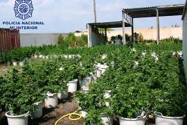 La policía interviene 2.700 plantas de marihuana en una finca del Polígon de Son Oms