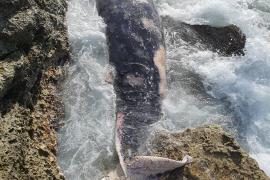 Encuentran muerto un ballenato de grandes dimensiones en la costa de s'Estanyol