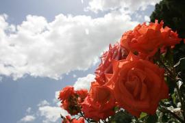 Cuándo florecen los rosales: sus mejores épocas del año