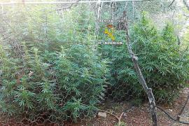La Guardia Civil interviene 340 plantas de marihuana en Artà y Fornalutx