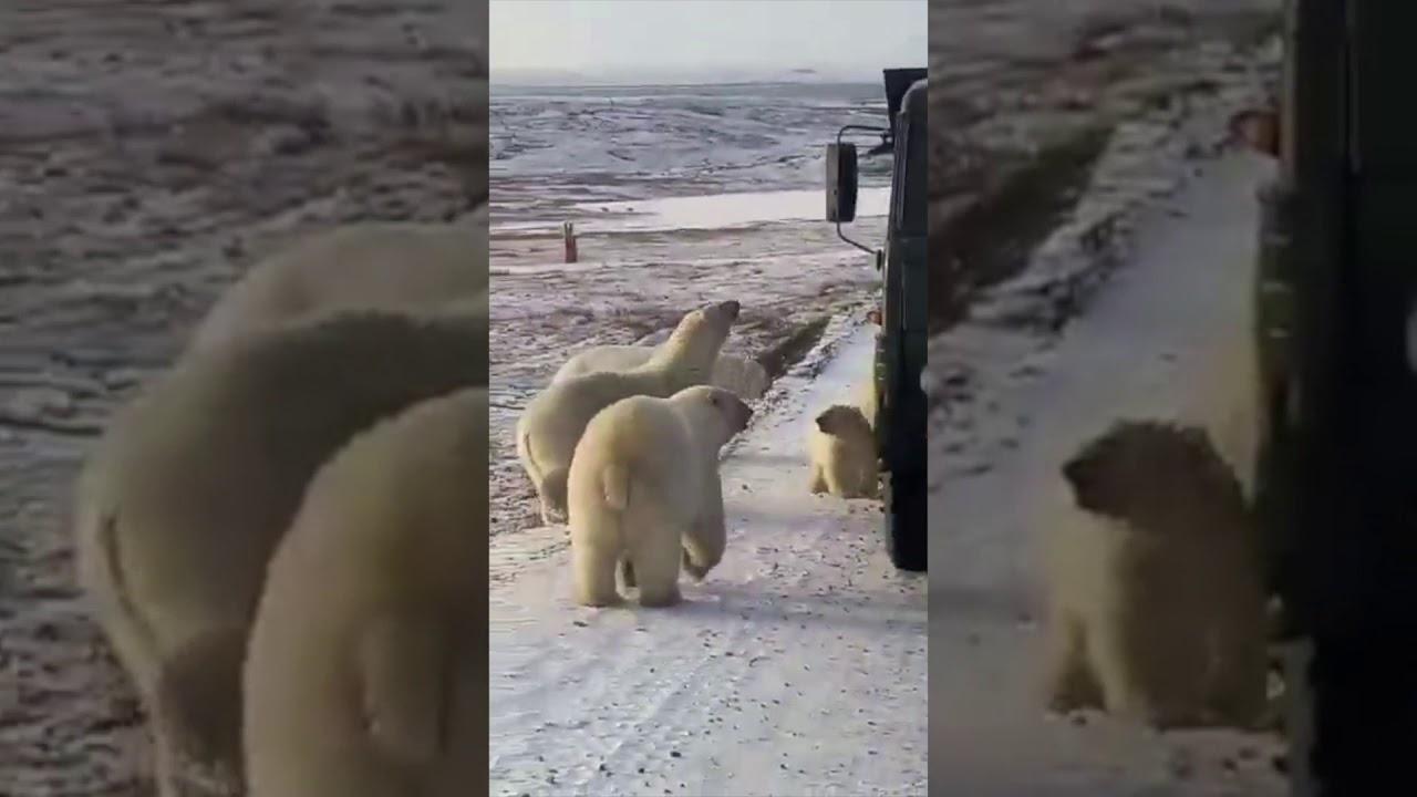 Captan el instante en el que unos osos polares registran un camión de la basura en busca de comida