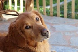Una perrita caminó casi 100 kilómetros para reunirse con sus dueños tras 4 meses separados