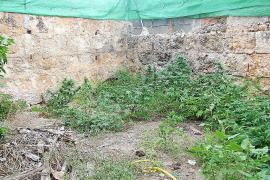 Intervienen plantas de marihuana en una finca de Sóller y una casa de Sineu