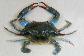 Autorizan la pesca recreativa del cangrejo azul en Mallorca para frenarlo