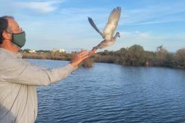 Liberados 44 patos en peligro de extinción en la reserva de s'Albufera