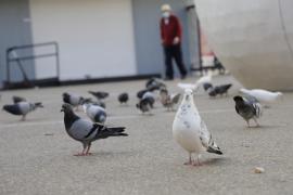 Multas de hasta 300 euros por dar de comer a las palomas en Palma