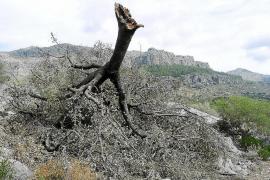 El Ajuntament de Escorca descarta declarar Lluc como zona catastrófica