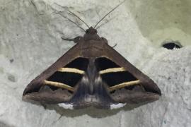 Descubren 71 especies de mariposas nocturnas nunca vistas en Menorca